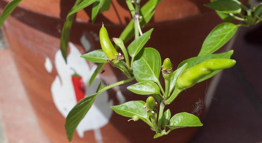Green chilli plant