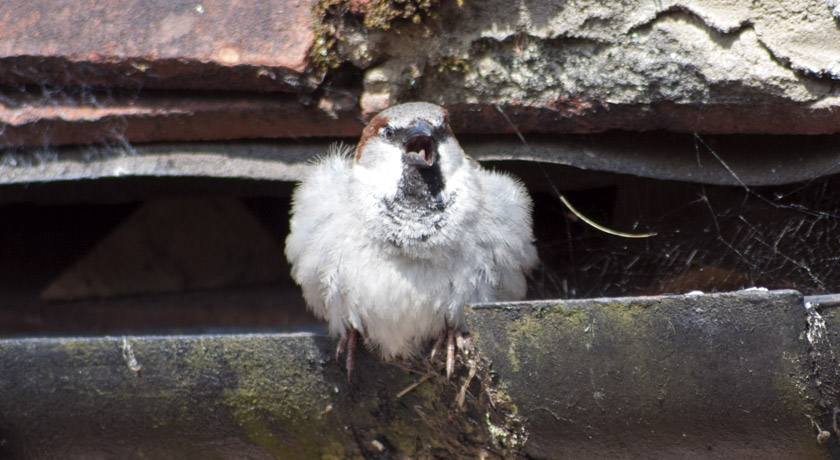 Chirping male house sparrow