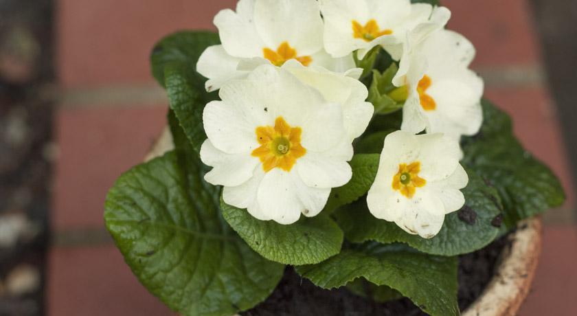 Cream primrose flowers