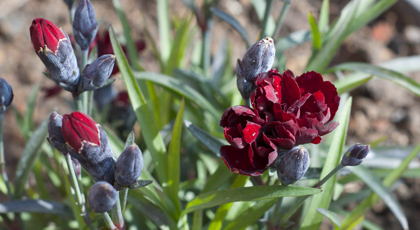 Deep red dianthus flowers