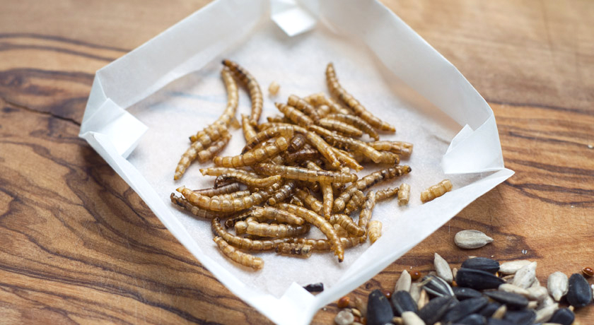 Meal worms for the birds