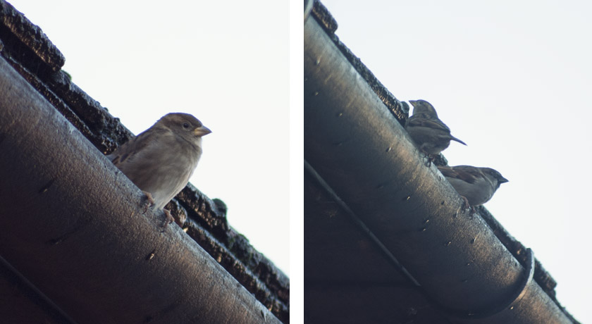 House sparrows on guttering