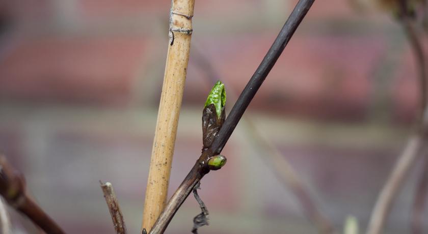 Early hydrangea leaf bud