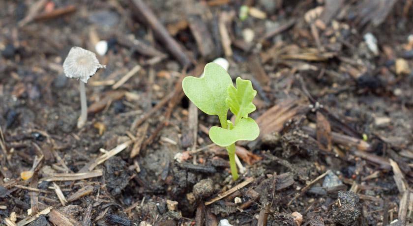 Kale seedling
