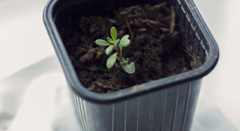 Small lavender seedling