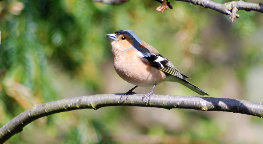 Chaffinch on a tree branch