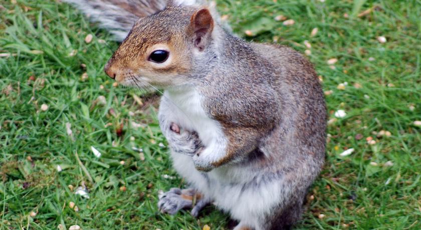 Grey squirrel holding nuts