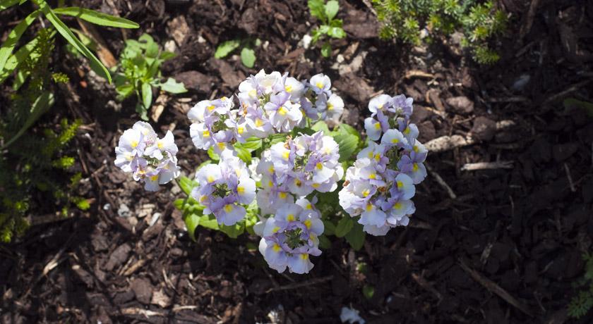 Purple and white Nemesia