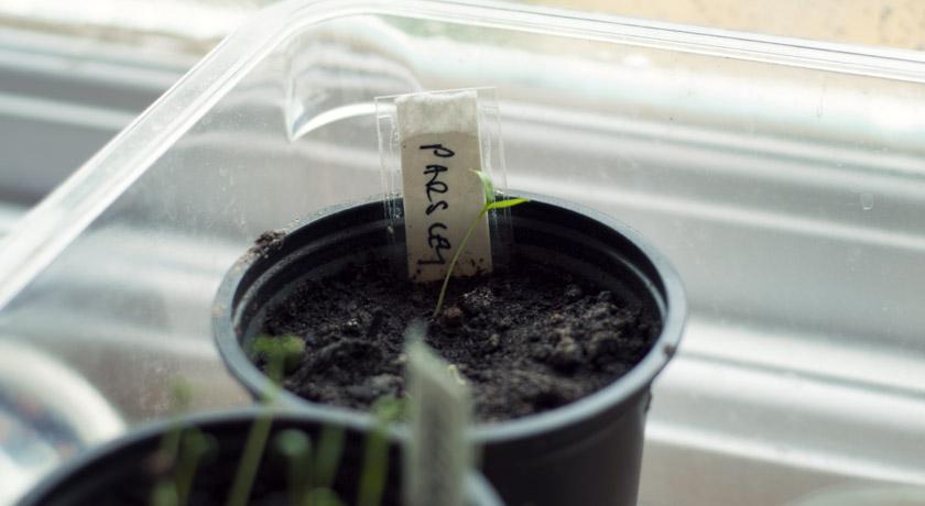 Tiny parsley seedling
