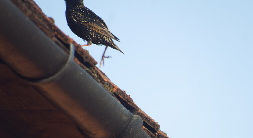 Starling running up a roof