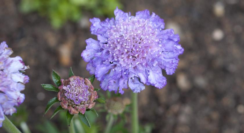 Lilac Scabious flower