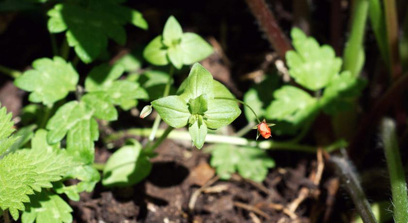Tiny orange weed flower