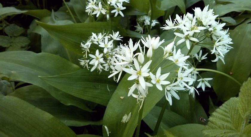 White wild garlic flowers