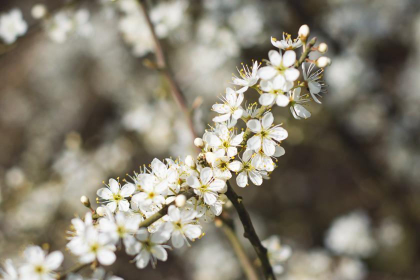 Small white blossom flowers
