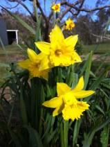 Jonquils and daffodils