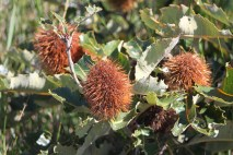 Banksia before fire
