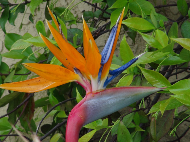 A beautiful Bird of Paradise plant in our patio.