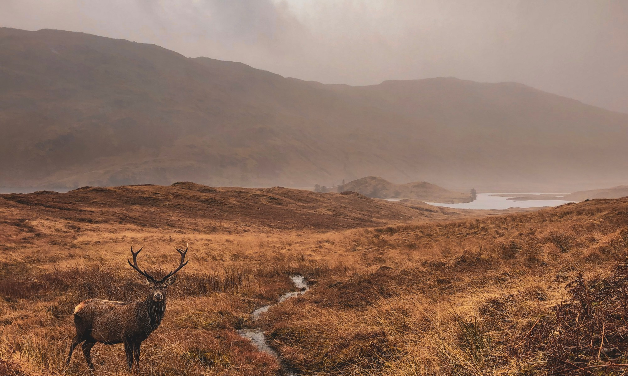 wild knoydart stag, staring at camera in front of mountains