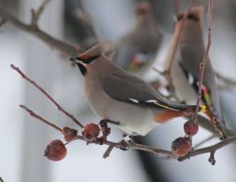 The Bohemian waxwing (Bombycilla garrulus) West Swale Richard St. Barbe Baker Afforestation Area. Saskatoon, SK, CA
