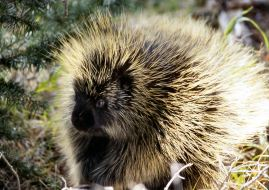 American Porcupine. West Swale ichard St. Barbe Baker Afforestation Area. Saskatoon, SK, CA
