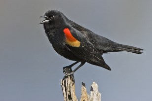 Red-Winged Blackbird. West Swale Wetlands Chappell Marsh. Richard St. Barbe Baker Afforestation Area Saskatoon, SK