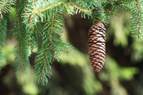 Colorado Blue Spruce Cone. Richard St. Barbe Baker Afforestation Area, Saskatoon, SK, CA