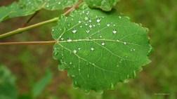 Trembling Aspen Leaf with dew drops, Richard St. Barbe Baker Afforestation Area. Saskatoon, SK, CA