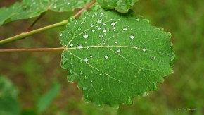 Trembling Aspen Leaf with dew drops, Richard St. Barbe Baker Afforestation Area. Saskatoon, SK, CA
