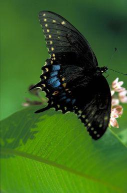 Black swallowtail on wild bergamot