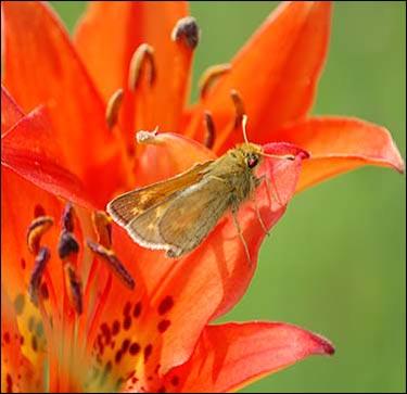 Dakota skipper (Hesperia dacotae)