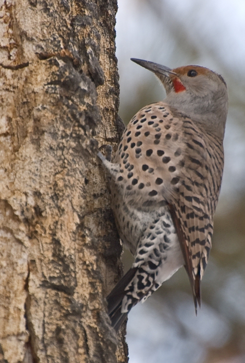 Northern Flicker Colaptes auratus
