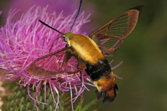 Snowberry Clearwing Moth Hemaris diffinis courtesy of Judy Gallagher CC 2.0
