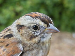 Swamp Sparrow (Melospiza georgiana)