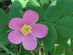 Native Rose Bush blooming in June