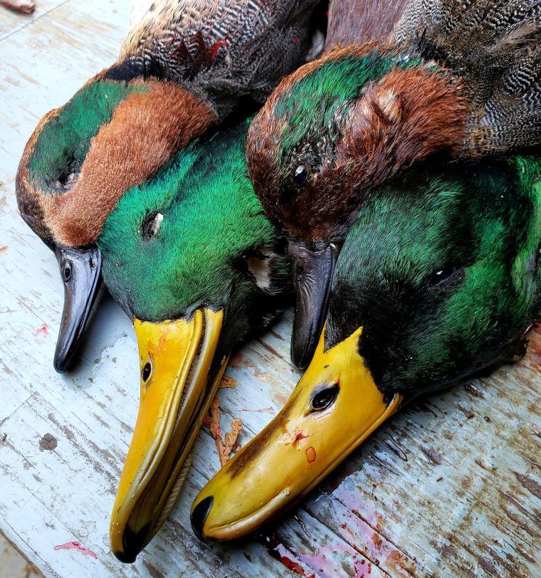 123797513 1014482499051196 5803299980397436232 n 4 St. Clair Duck Hunts