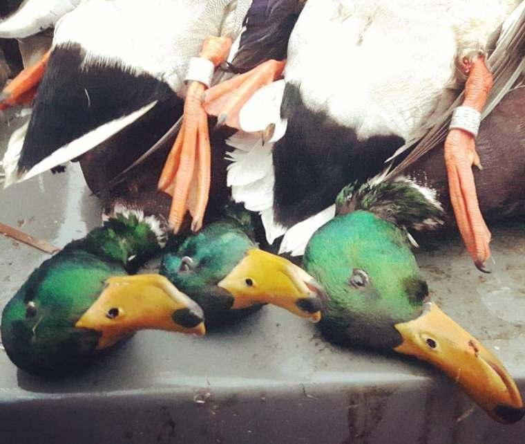 139469656 489926242402941 7952509660855252244 n St. Clair Duck Hunts