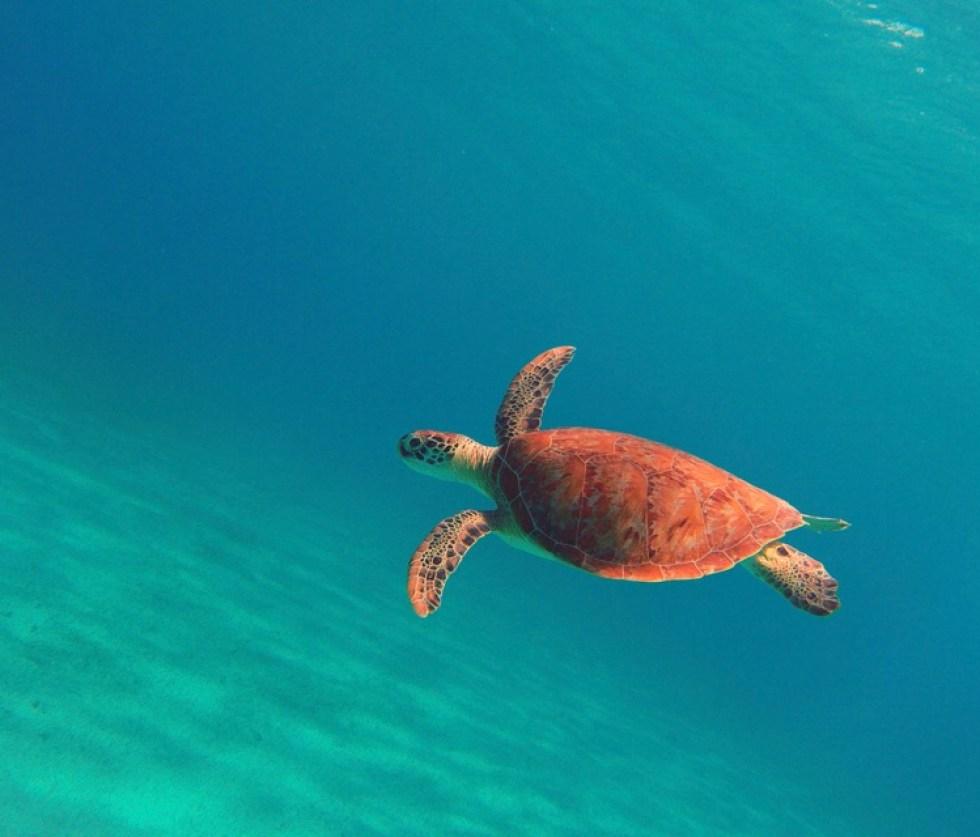 Green sea turtle. (Mario Picayo photo)