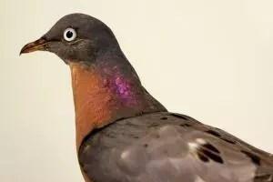 Passenger Pigeon - Seabamirum