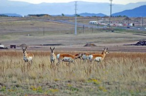 Nervous now, future worse: pronghorn antelope at the edge of a growing economy. Photo Credit: Michael Shealy