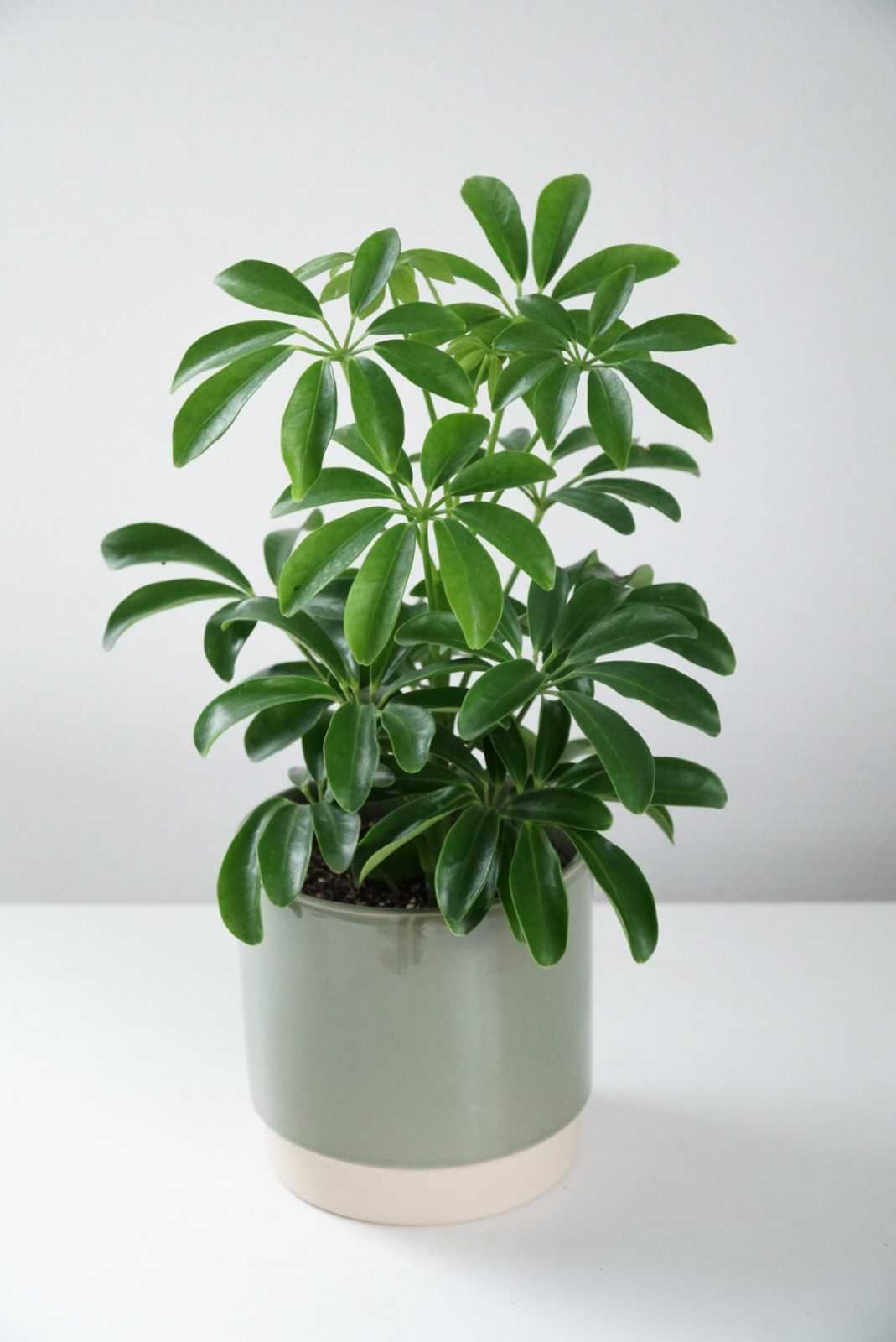 vingerplant vingersplant schefflera plant plantje stek stekje terracotta pot potje glas glaasje rood