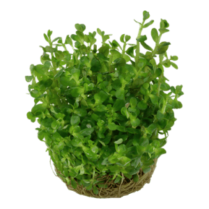 Tropica 1•2•Grow! Rotala 'Bonsai'