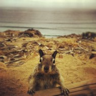 Squirrel at Torrey Pines