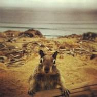 Squirrel at Torrey Pines