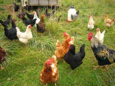 Our chicken crew