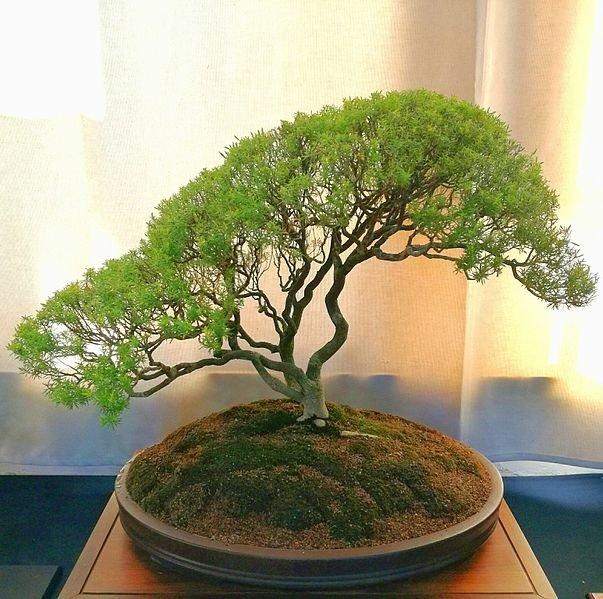 Coleonema_album_confetti_bush_bonsai_Cape_Town_2.jpg