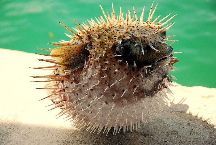 800px-Puffed_up_Pufferfish.jpg
