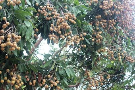 Image result for agbalumo tree