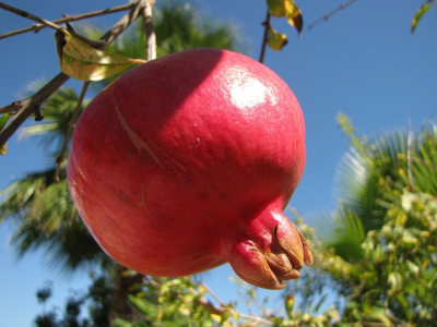 Pomegranate Is Aphrodisiac That Enhances Sexual Desires