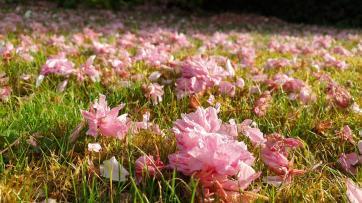 Ein Teppich aus Kirschblüten