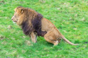 Löwe kackt